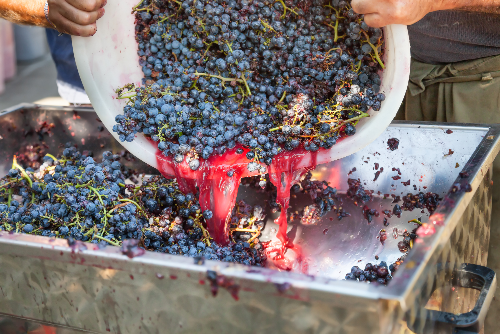 Making red wine
